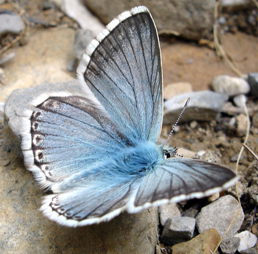 Blue gray butterfly photography