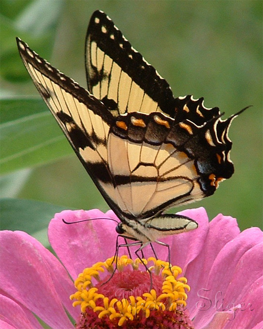 Light brown pink flower butterfly photography